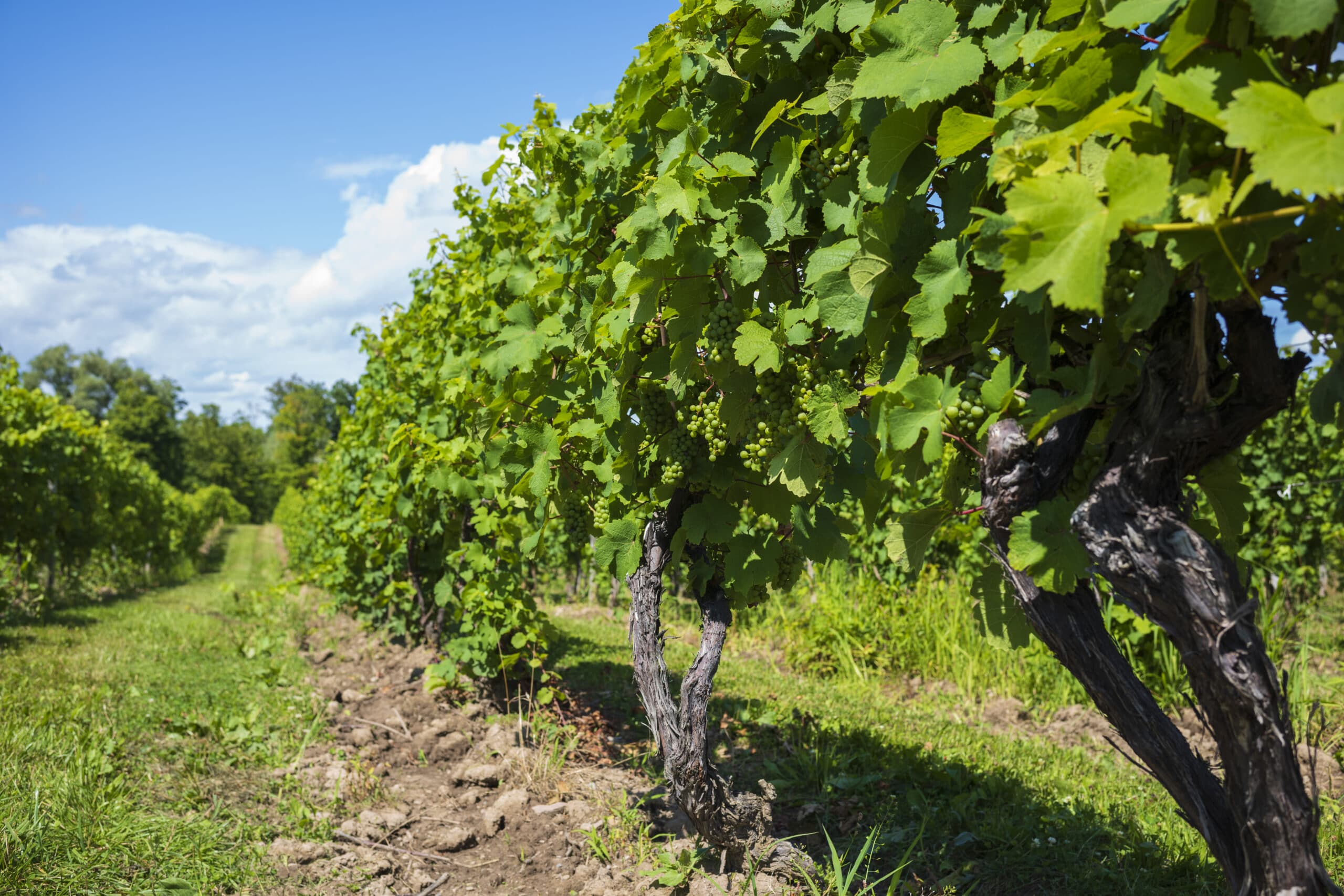 Grapes grow in a vineyard, located in the Finger Lakes Region of New York State, for the purpose of producing white wine.