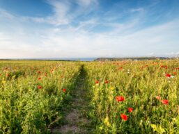 Field of red wildflowers with blue skies dotted with clouds and trail cutting through the field